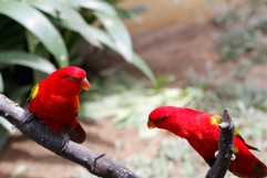 Red Parakeets