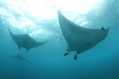 Mantas: Synchronized Flying