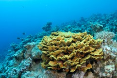 Yellow Waver Coral