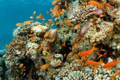 Anthias at the Reef
