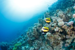 A pair of Bannerfish