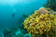 Yellow Waver coral