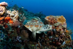 Green Turtle in the Reef