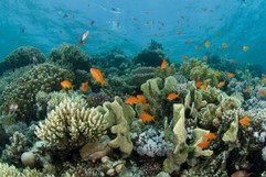 Reef in the Red Sea with Anthias