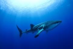 Gentle Giant: Whale Shark (Rhincodon typus)