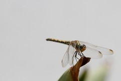Dragon Fly sitting on a leaf