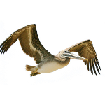 PelicanHPC Logo 150x150
