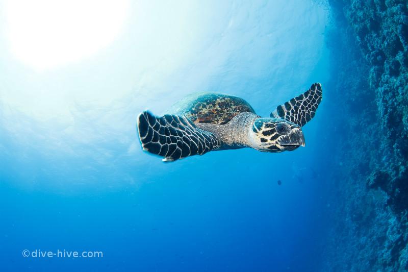Fliegende Echte Karettschildkröte