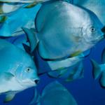 Freebie-Freitag: Kostenloses Hintergrundbild / Wallpaper – Schwarm Fledermausfische