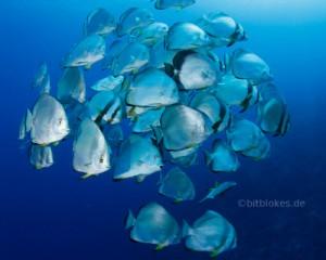Schwarm Fledermausfische