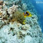 Freebie-Freitag: Kostenloses Hintergrundbild / Wallpaper – Clownfisch und Anemone