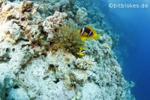 Clownfische und Anemone