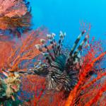 Freebie-Freitag: Kostenloses Hintergrundbild / Wallpaper – Rotfeuerfisch