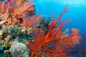Rotfeuerfisch in roter Fächerkoralle