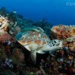 Freebie-Feiertag: Kostenloses Hintergrundbild / Wallpaper – Suppenschildkröte im Korallenriff