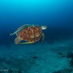 Freebie-Freitag: Kostenloses Hintergrundbild / Wallpaper – Fliegende Suppenschildkröte