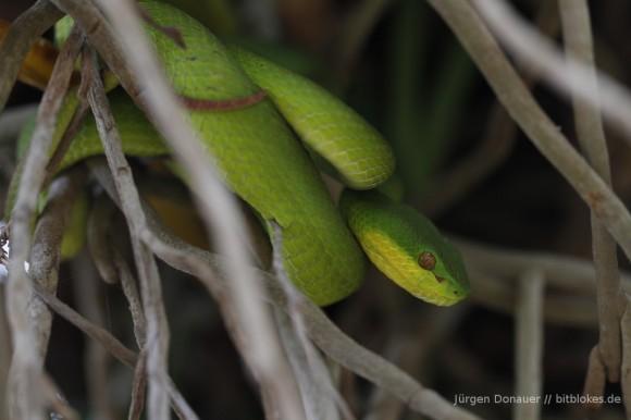 Weißlippen-Bambusotter (Green Pit Viper)