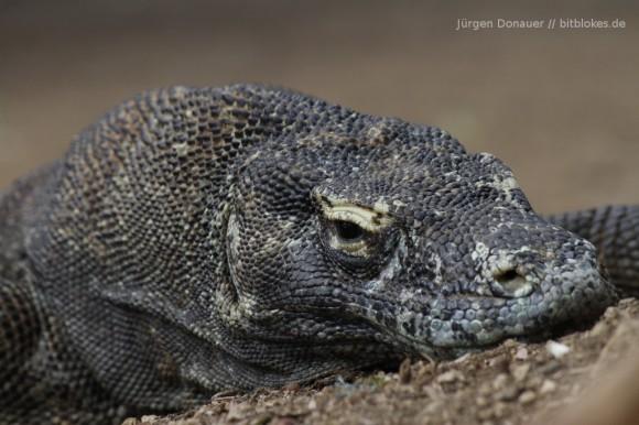 Komodo-Drachen: Genug gelaufen!