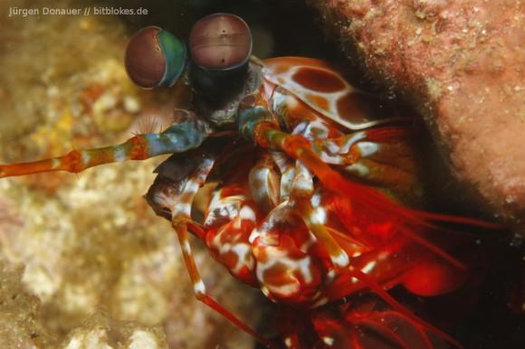 Fangschreckenkrebs / Mantis Shrimp