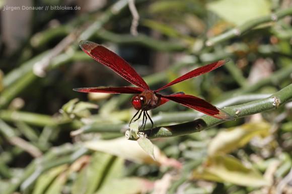 Rote Libelle in Bira
