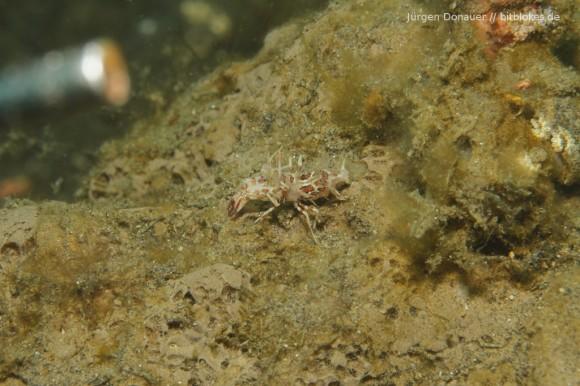 Tiger Shrimp - ich habe den Zeigestick links im Bild gelassen, damit man die Dimensionen besser sieht