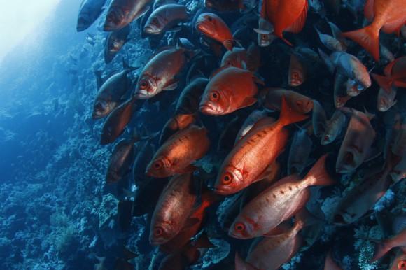 Soldatenfische