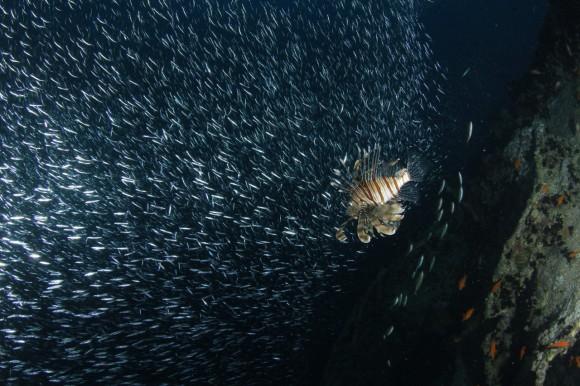 Thistlegorm: Den Rotfeuerfischen gefällt die Fischwolke