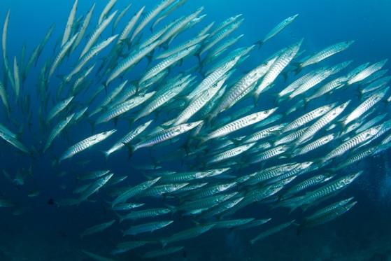 Diving Underwater Ocean Sea Fish Indonesia School Gili Barracuda