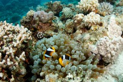 Clownfish and Anemone