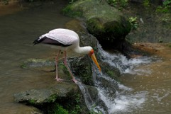 Stork on the river