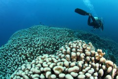 Very big Coral and Diver