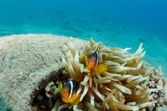 Clownfish in Tire
