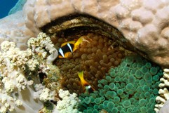 Clownfish and 2 Anemones