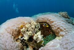 Clownfish in huge Hard Coral