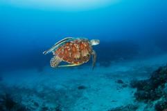 fliegende suppenschildkröte
