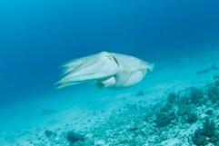 tintenfisch   sepia