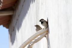 Nestende Vögel
