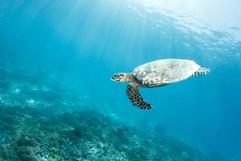Flying Hawksbill Turtle (Eretmochelys imbricata)