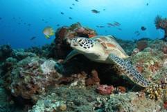 Suppenschildkröte (Chelonia Mydas) im Riff