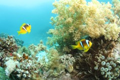 Clownfish and Softcoral