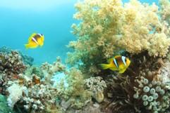 Anemonenfische und Weichkorallen