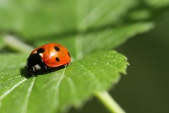 Macro of a lady bird