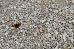Butterfly on gravel