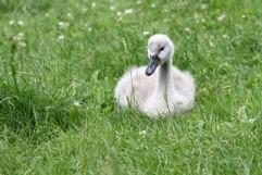 junger schwan