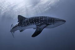 Big beauty: Whale Shark (Rhincodon typus)