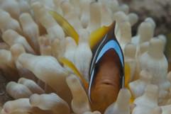 makro   anemonenfisch (clownfish)