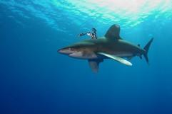 weißspitzen hochseehai (carcharhinus longimanus)