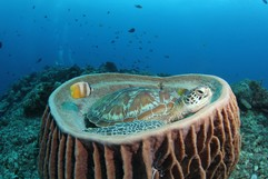 Green Turtle (Chelonia mydas) in Barrel Sponge