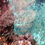 Glasfische und Korallen