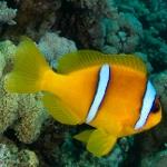 Fast fertige Clownfische, die Monstermuräne und eine Scherengarnele
